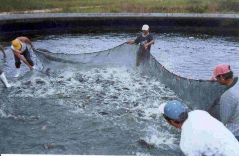 Opiniones de chinchorro pesca for Tipos de estanques para acuicultura